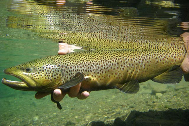 Catch and Release Brown Trout